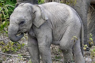 A baby boy elephant in Hongsa, Laos.