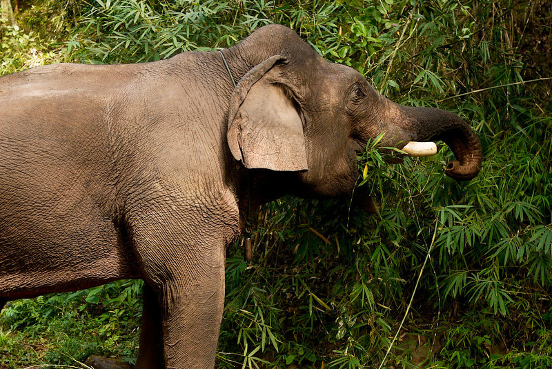 An elephant munching on his lunch outside of Hongsa, Laos.