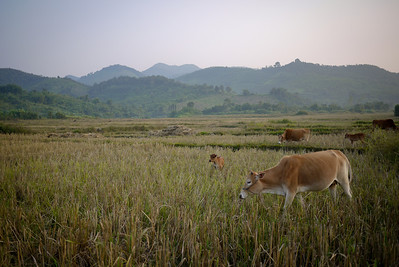 Cows graze in the fields in Hongsa, Laos.