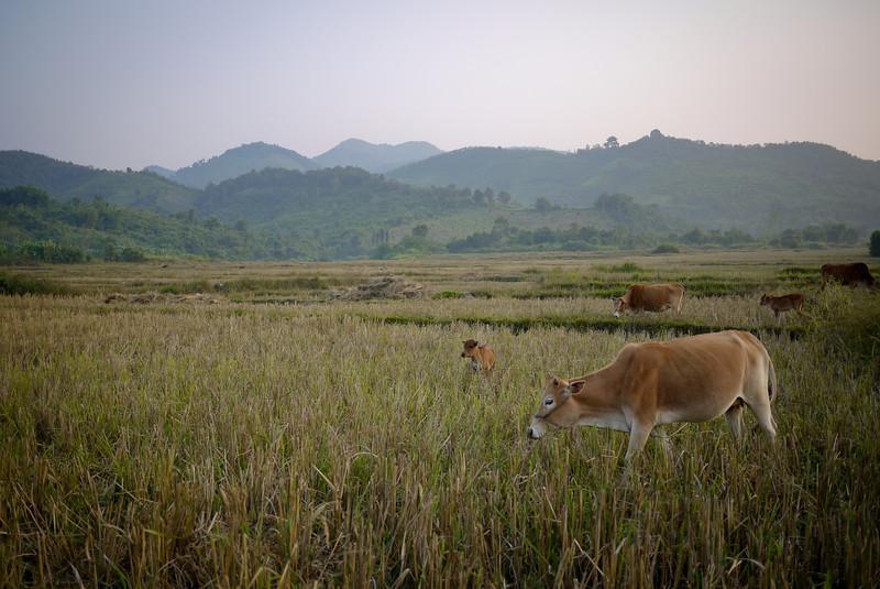 Cows graze in the fields in Hongsa, Laos.