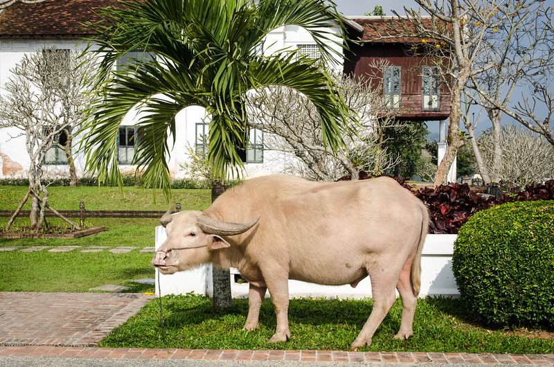 A blonde water buffalo on the grounds of our hotel, The Grand Luang Prabang,