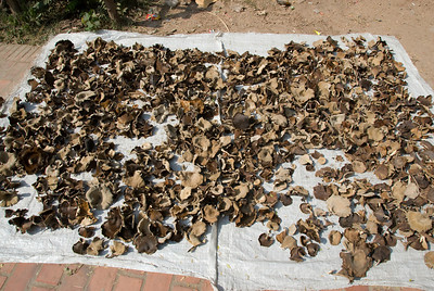 Mushrooms laid out on a sheet to dry in Luang Prabang, Laos