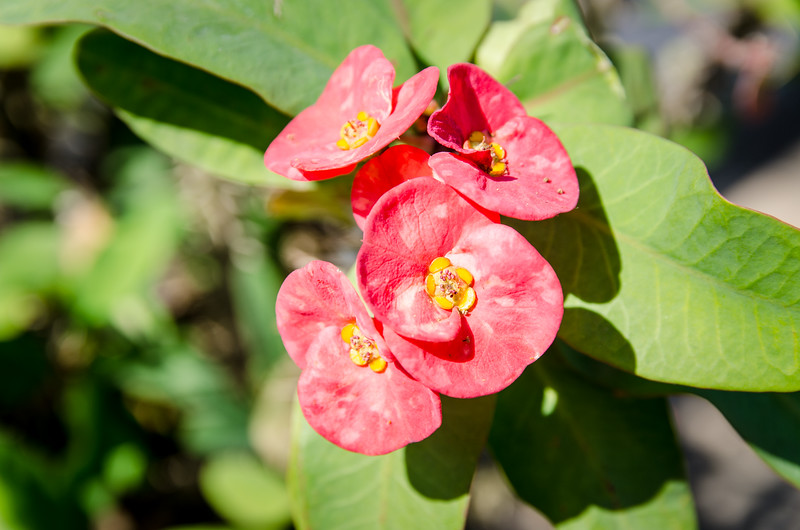 Crown of Thorns. You see this flower growing in pots all over SE Asia.