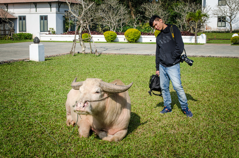 The owner of the hotel rescued two blonde water buffalo, now they live at the hotel.