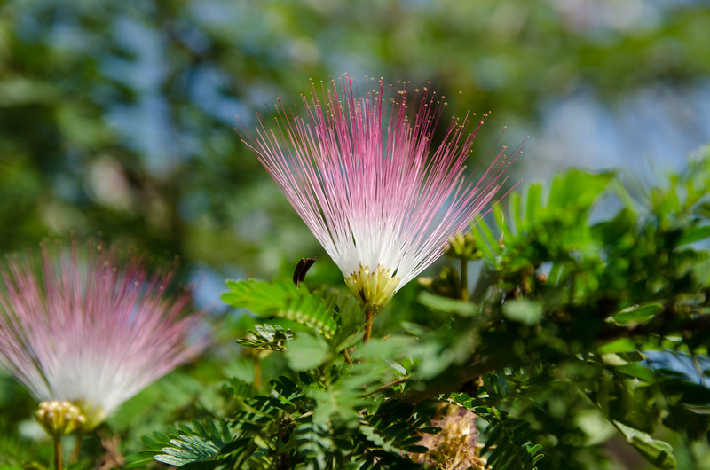 Mimosa tree or Pink Silk tree.