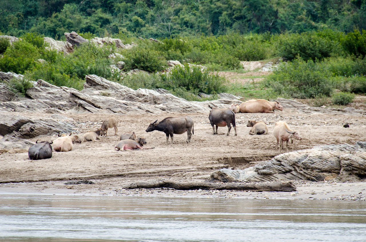 Water buffalo lounging on the bank of the Mekong.