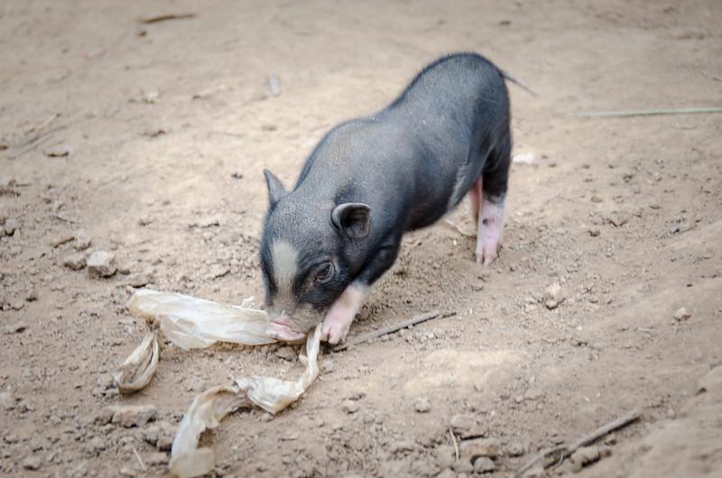 Cute piglet.