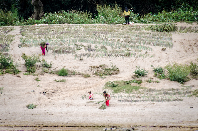 Girls and women drying grasses to make brooms.