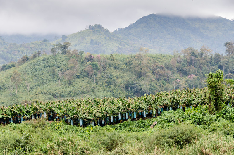 A banana plantation. Pretty much all commercial banana growers put plastic bags around the bunches to protect from pests and increase productivity.
