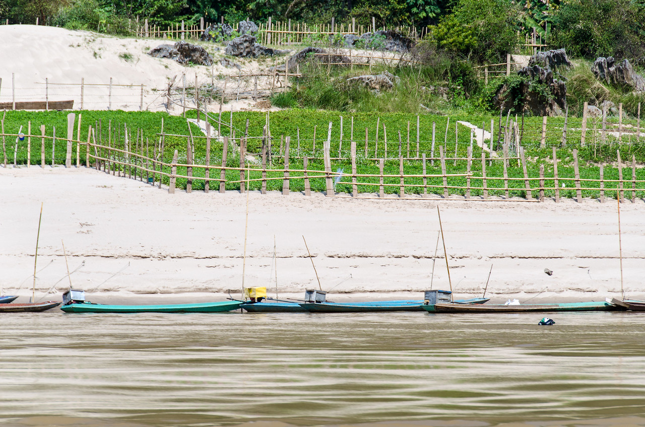 There are many small farms in the sand along the bank of the Mekong.