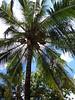 Kasawari Resort, coconut pickers<br /> Lembeh, Indonesia
