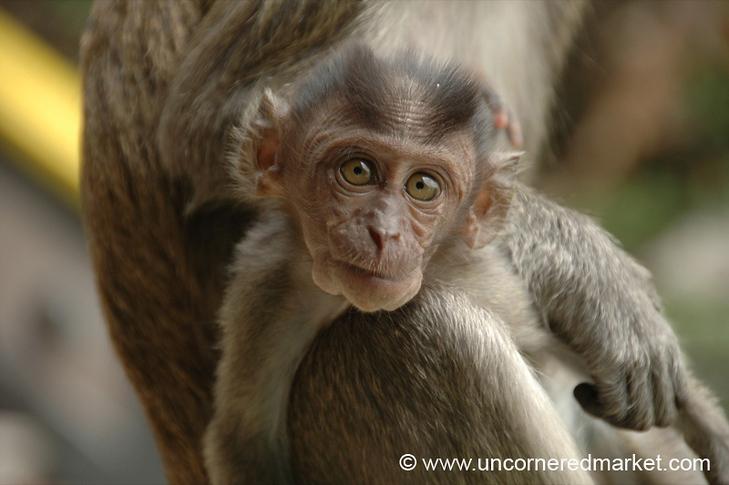 Macaque Baby, Batu Caves - Kuala Lumpur, Malaysia