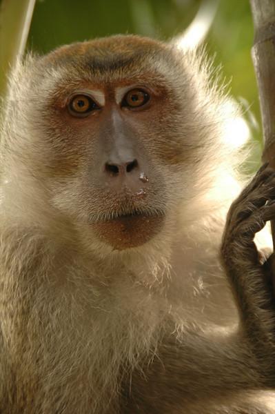 Monkey Face - Penang, Malaysia