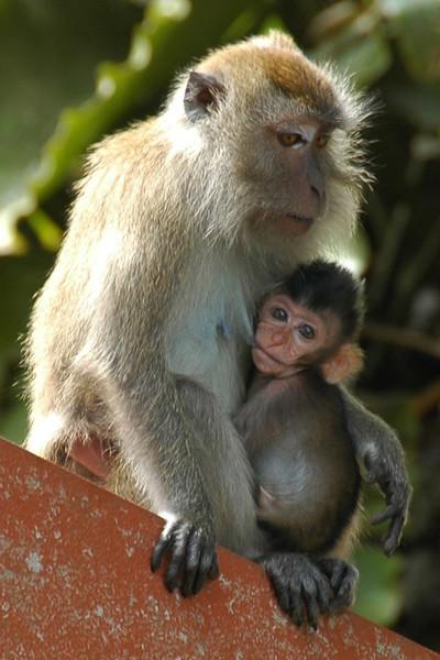 Mother and Baby Monkey - Penang, Malaysia