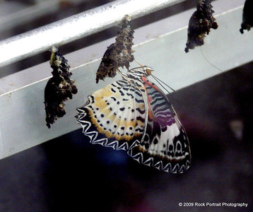 Malayan lacewing and cocoon