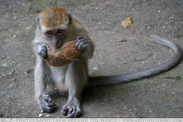 Monkey At Batu Caves - Kuala Lumpur, Malaysia