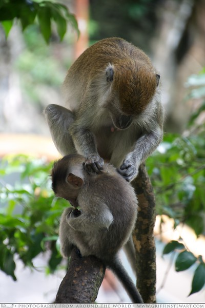 Monkeys picking each other