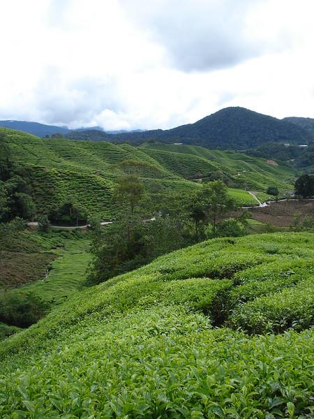 Tea Plantations, Cameron Highlands - Malaysia