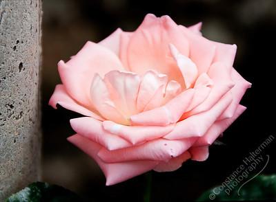 Rose Centre, Cameron Highlands - rose