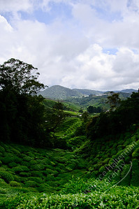 Cameron Highlands - BOH Tea Plantation