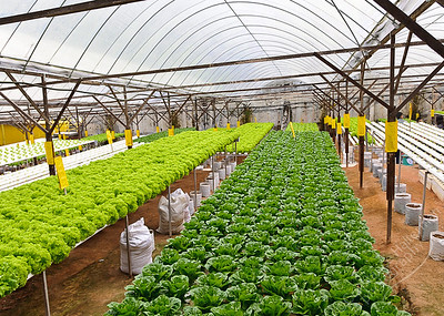 The Big Red Strawberry Farm, Cameron Highlands - lettuce