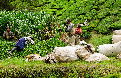 Cameron Highlands - BOH Tea harvesting