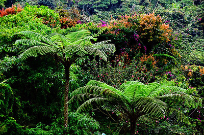 Cameron Highlands - tree ferns