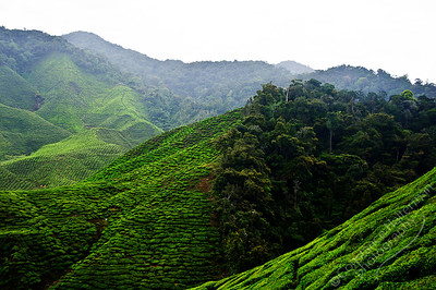 Cameron Highlands - Cameron Tea Plantation