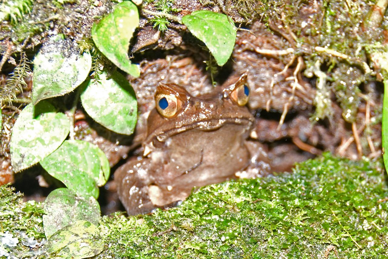 Close-up shot of frog hiding under plants in Kinabalu National Park, Sabah, Malaysia