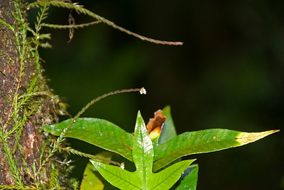 Worlds Smallest Orchid spotted at Kinabalu National Park, Sabah, Malaysia
