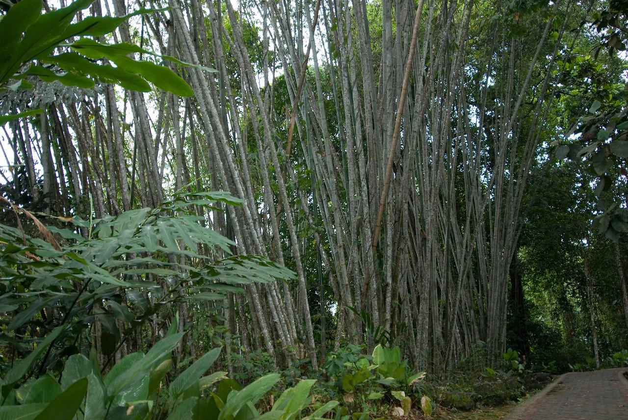 Bamboo along the side of road at Kinabalu National Park, Sabah, Malaysia