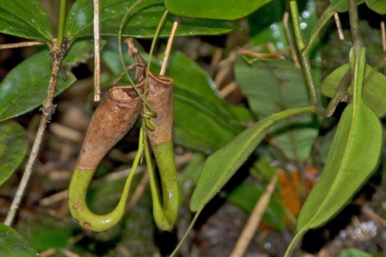 Another close-up shot of Pitcher Plant at Kinabalu National Park, Sabah, Malaysia