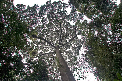 Rainforest treetop amidst a thick canopy at Kinabalu National Park, Sabah, Malaysia