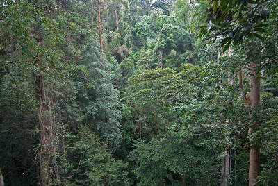 Thick and vast forest canopy at Kinabalu National Park, Sabah, Malaysia