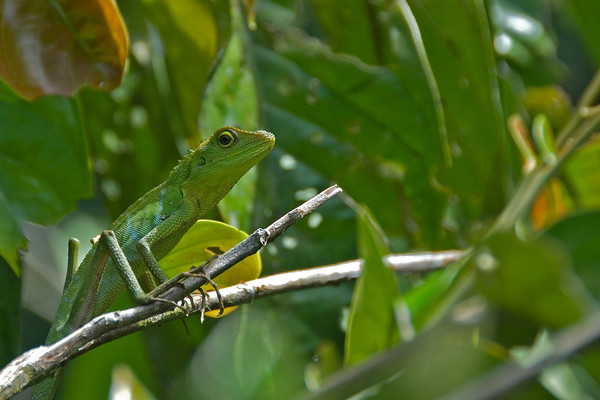 Travel photo: Green lizard on a branch in Sarawak, Malaysia
