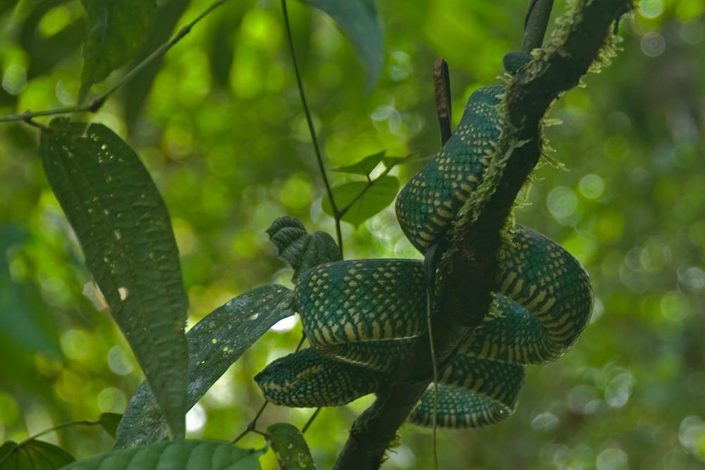 Viper in Tree, Sarawak, Malaysia