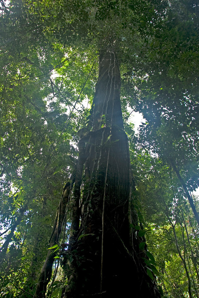 Looking up the Empire Tree at Mulu National Park - Sarawak, Malaysia