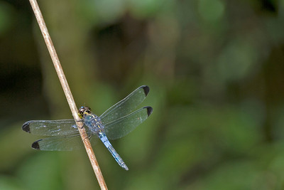 Dragonfly spotted on a branch at Mulu National Park - Sarawak, Malaysia