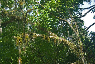 Moss and vines covering a tree branch at Mulu National Park in Sarawak, Malaysia