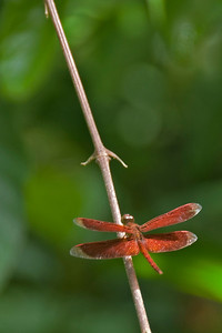 Red Dragonfly resting on a tree branch at Mulu National Park - Sarawak, Malaysia