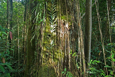 Sunlight beaming thru the rainforest and onto a tree at Mulu National Park - Sarawak, Malaysia