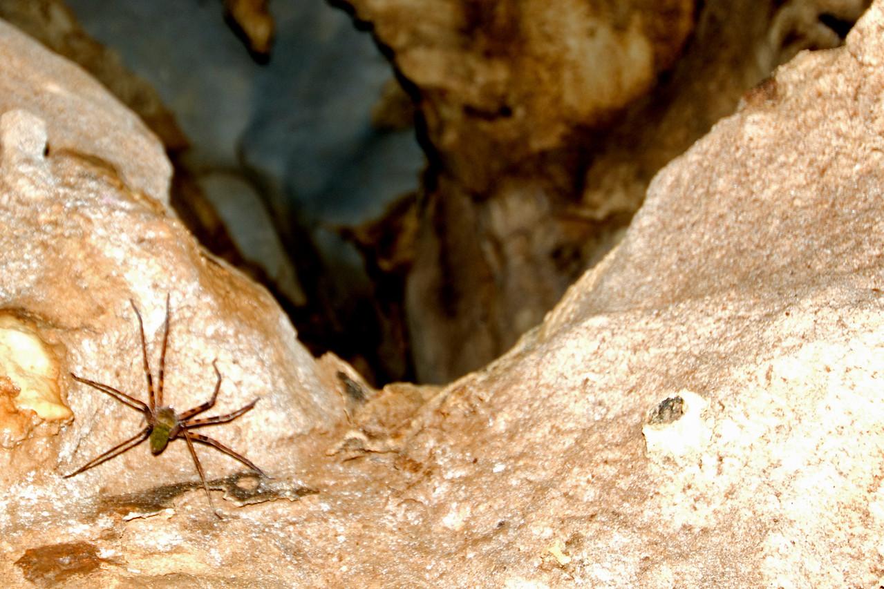 Huntsman Spider crawling on rocks in Runner Cave, Mulu National Park - Sarawak, Malaysia