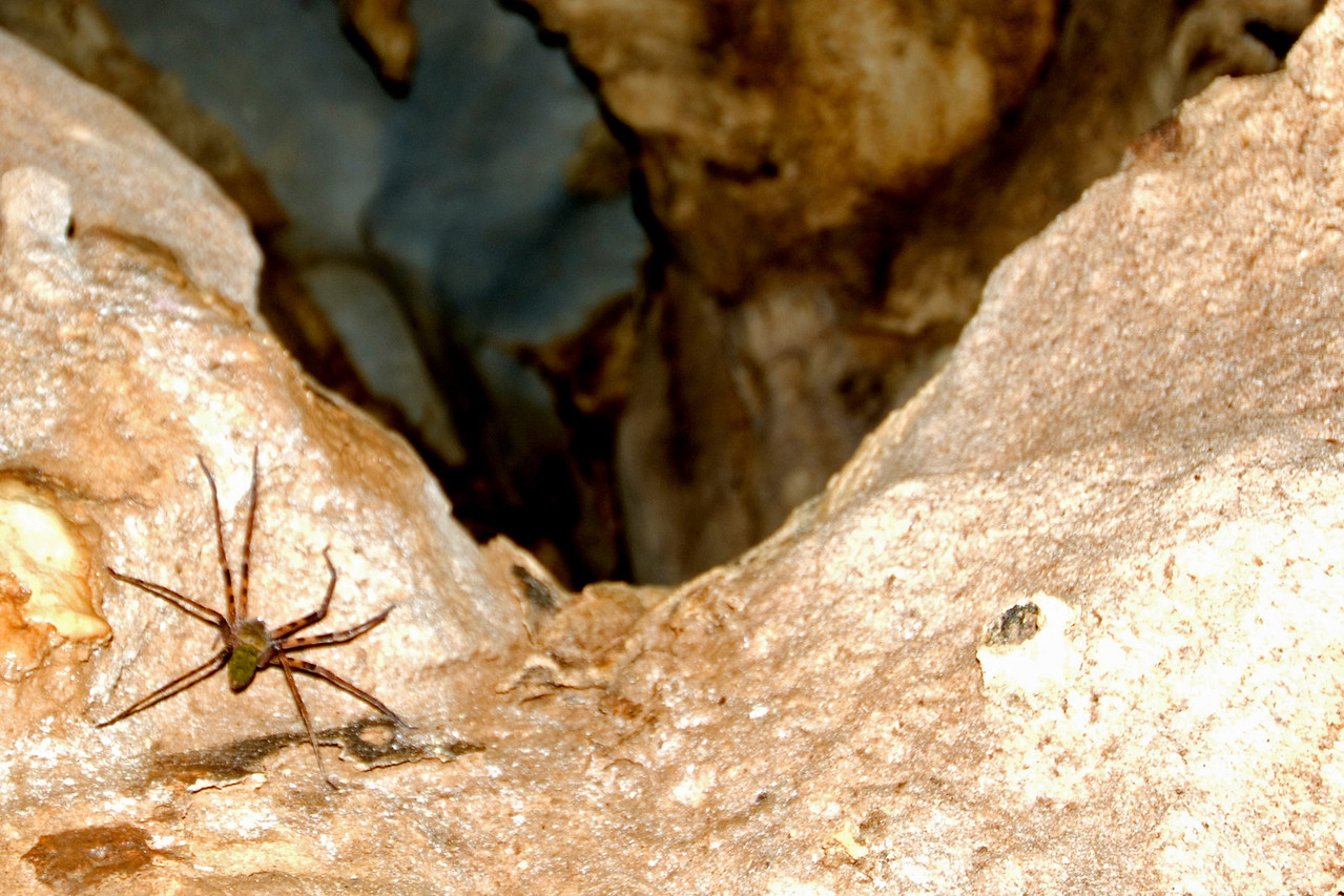 Huntsman Spider crawling on rocks in Runner Cave, Mulu National Park - Sarawak, Malaysia