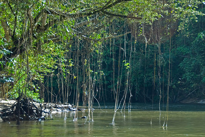 Roots hanging from tree branch and into the river at Mulu National Park - Sarawak, Malaysia