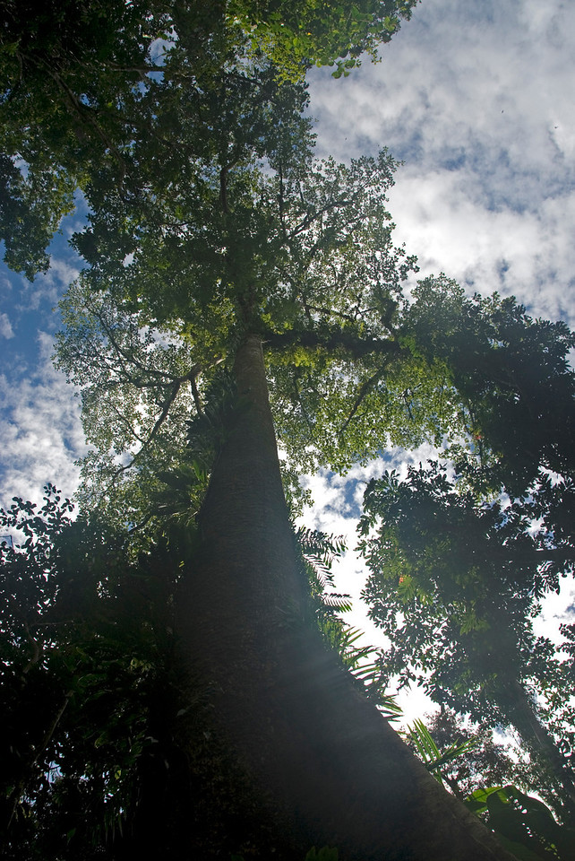 Looking up the Empire Tree Top at Mulu National Park - Sarawak, Malaysia