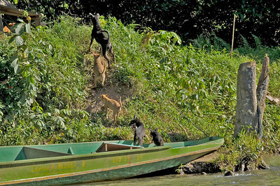 Dogs departing from a boat in Mulu National Park - Sarawak, Malaysia