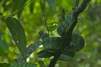 Viper crawling on a tree branch at Mulu National Park - Sarawak, Malaysia