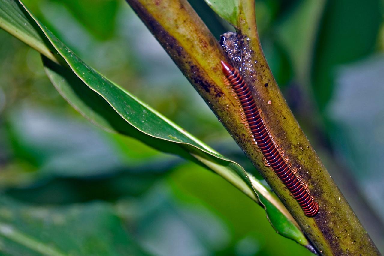 Millipede crawling on plant at Mulu National Park - Sarawak, Malaysia