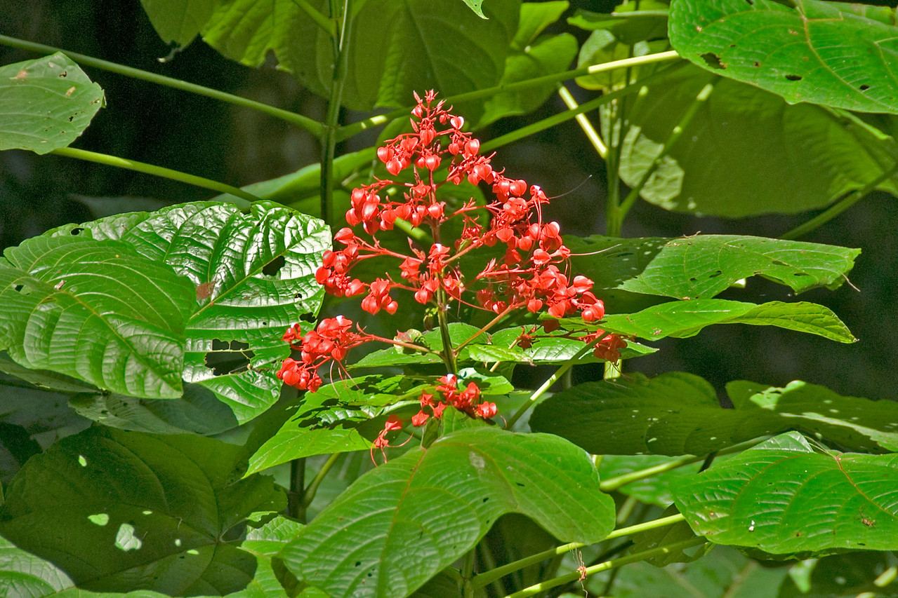 Red flowering plant spotted inside the Mulu National Park - Sarawak, Malaysia