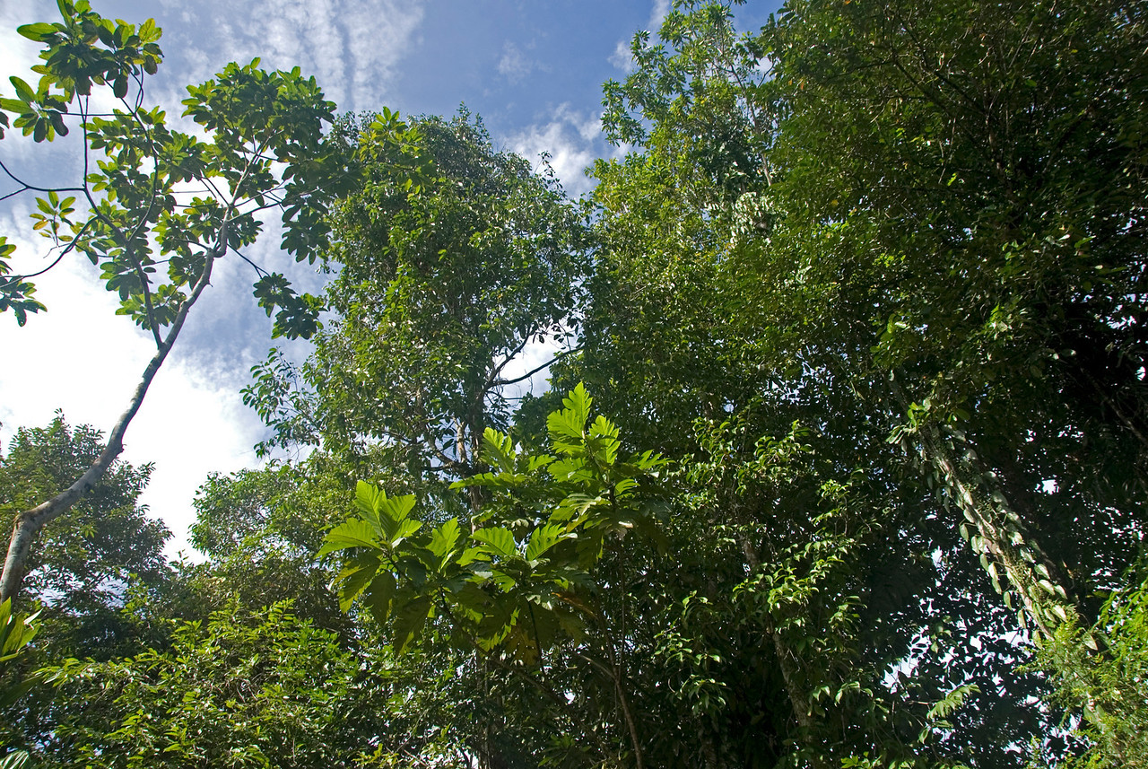Shot of the forest canopy and sky at Mulu National Park - Sarawak, Malaysia